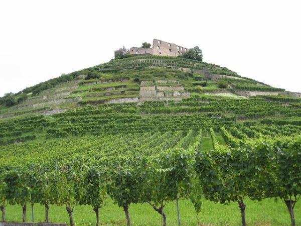 castle vines